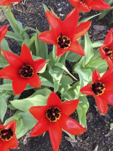 Rocket Red Tulips, Torbert